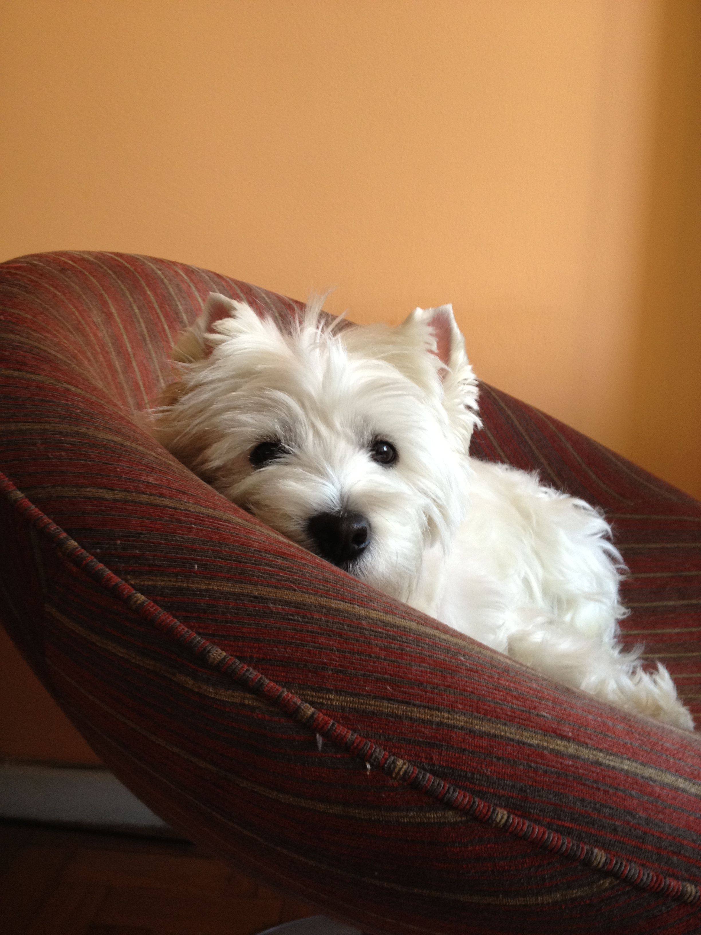 What A Precious Little Thing Westie Terrier Westies
