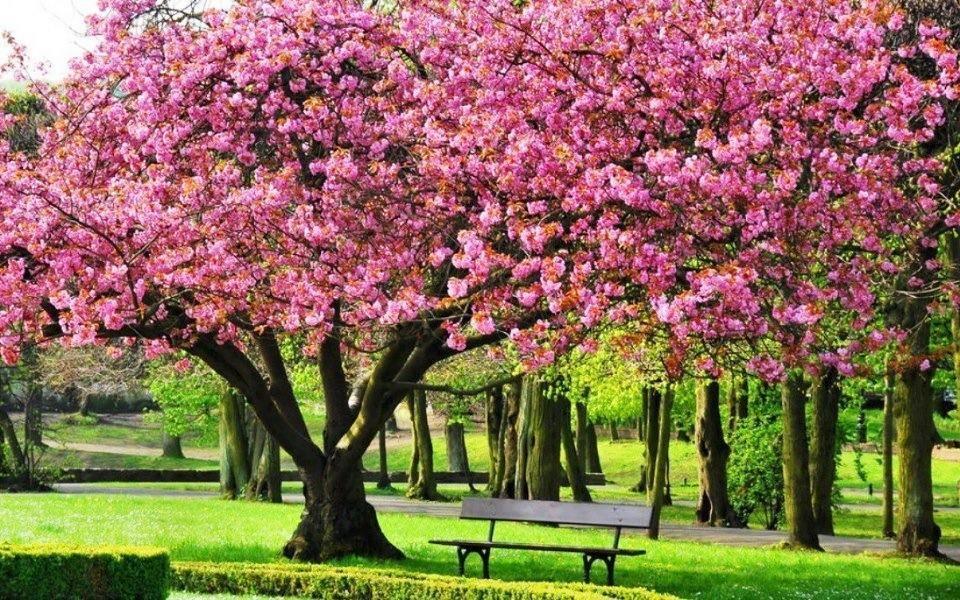 The Season Of Cherry Blossoms Dreamy Nature Beautiful Tree Flowering Trees Tree