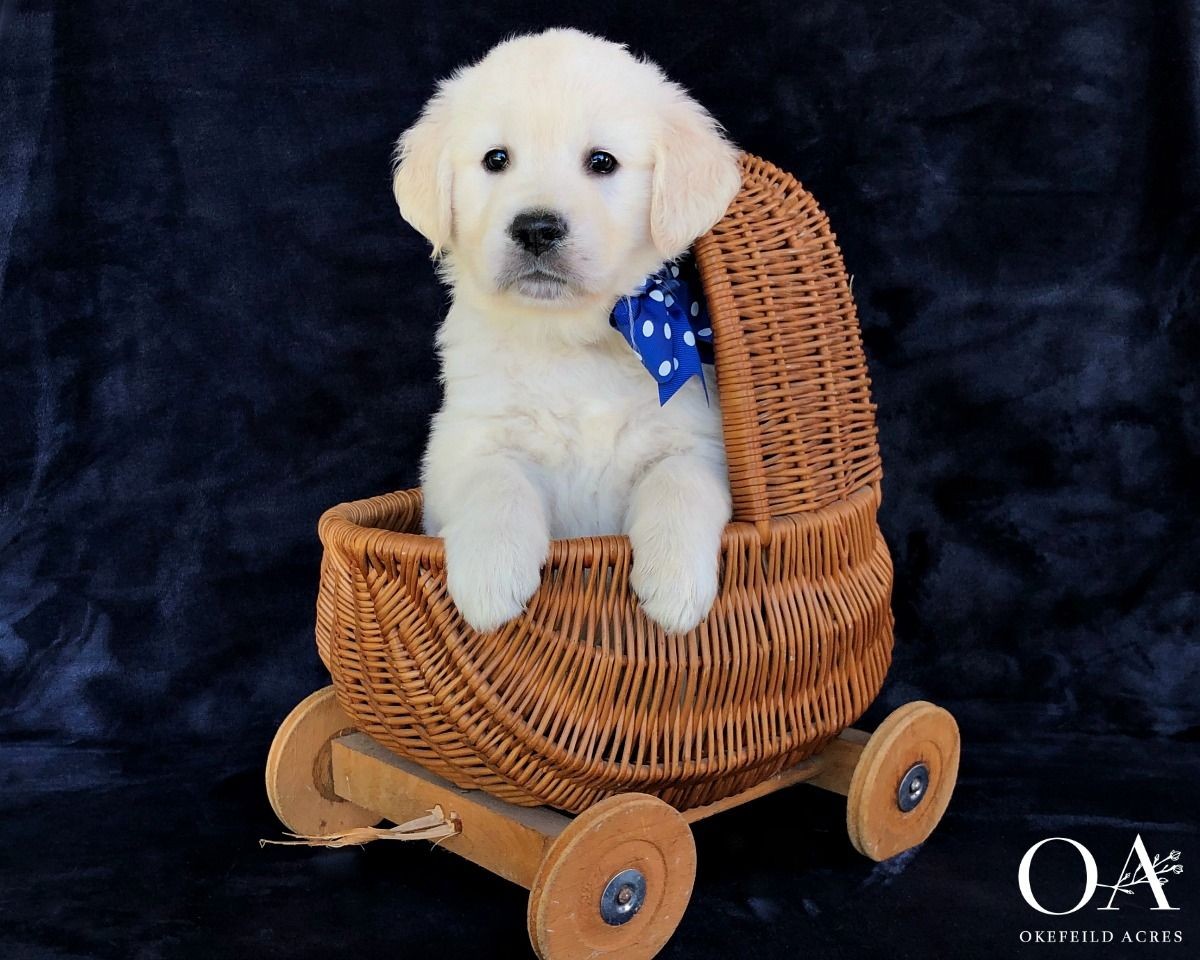 Okefeild Acres European English Cream Golden Retrievers