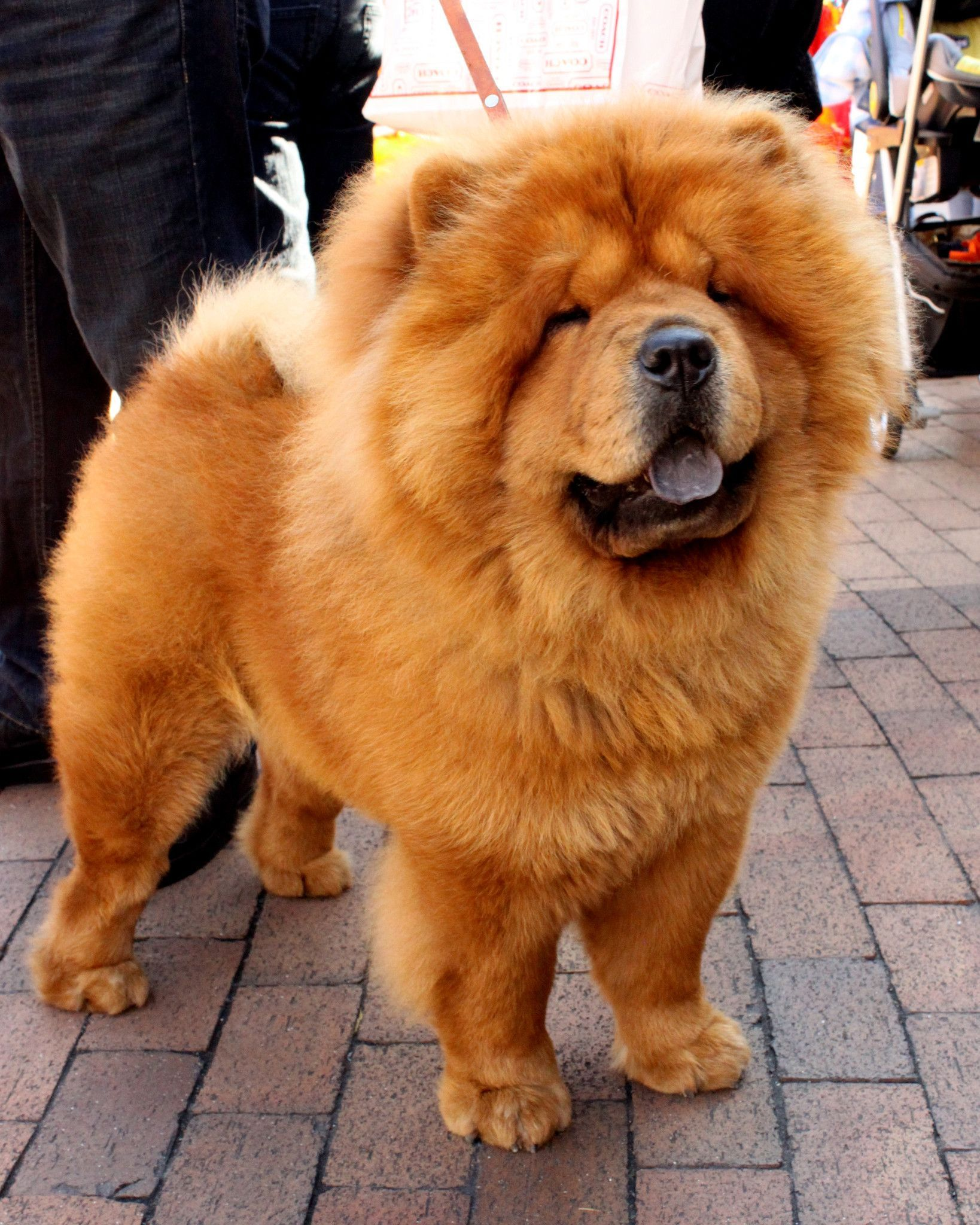 Chow Chow Breed Jewelry Cuddle Wrap Ring Chow Chow Dogs Fluffy