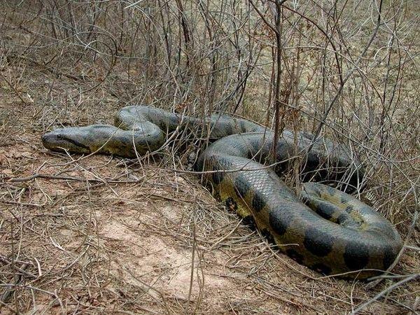 195ef3ac Jpg 600 450 Cobra Gigante Cobras Serpente