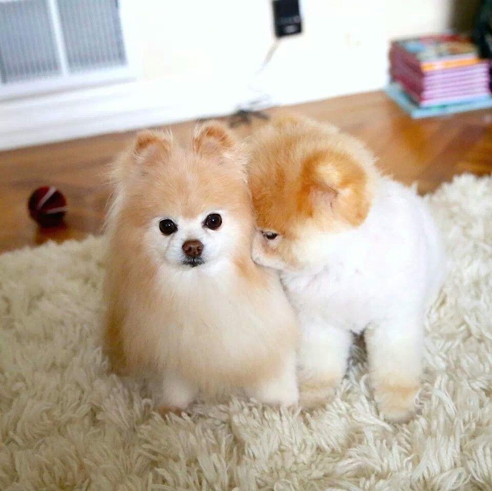 Pinterest Hannayyoder Instagram Hannayyoder Dogs And - Jiff the pomeranian is easily the best dressed model on instagram