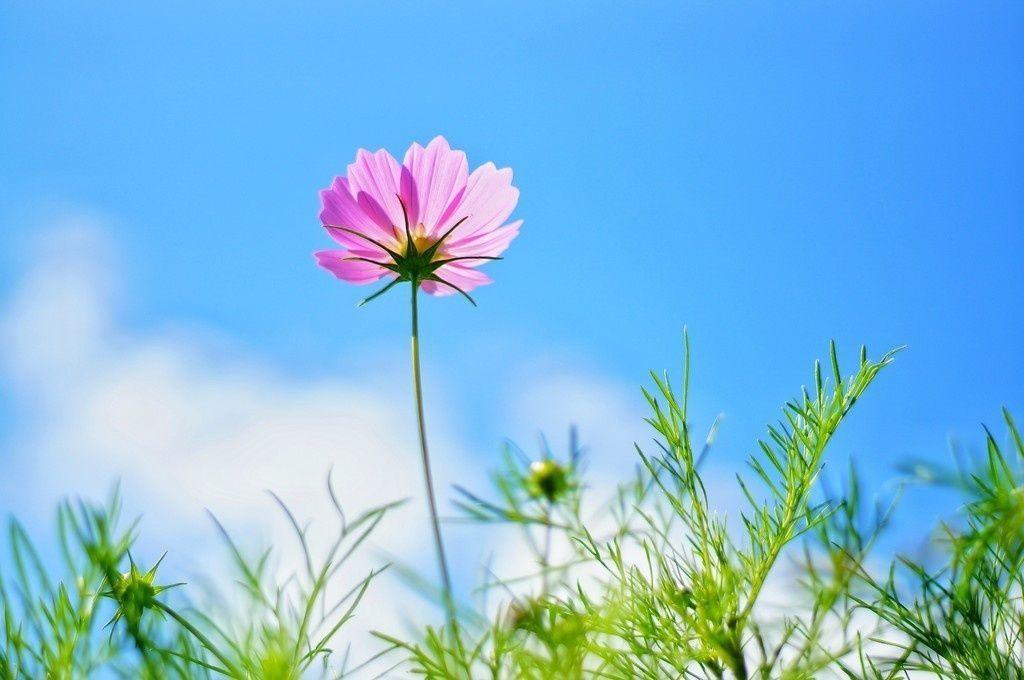 Pink Cosmos Meadow Plants Flowers Spring 4k Wallpaper Pinkflowerwallpaperiphone Purple Flowers Wallpaper Flower Wallpaper Hd Flower Wallpaper