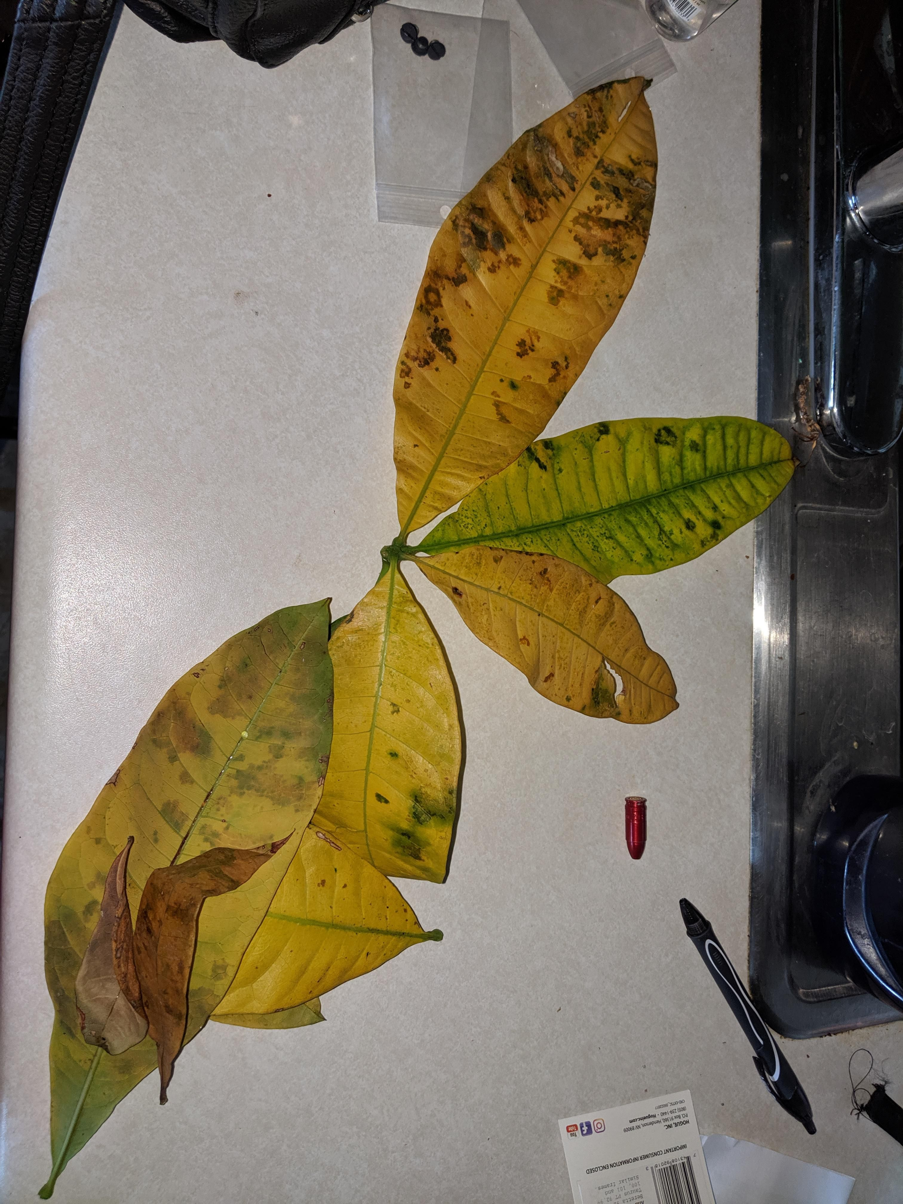 Money Tree Leaves Turning Yellow And Falling Off Why Is My Tree Sick Gardening Garden Diy H Plant Leaves Turning Yellow Plant Leaves Turning Plant Leaves