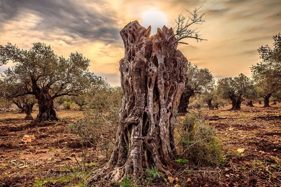 #photography Olive Trees by Roni_Burla https://t.co/YVlxcqspf9 #followme #photography