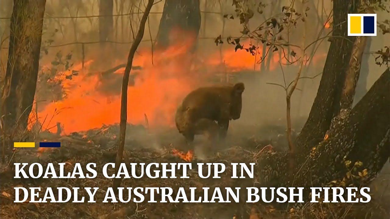Koala rescued from deadly Australian bush fires YouTube
