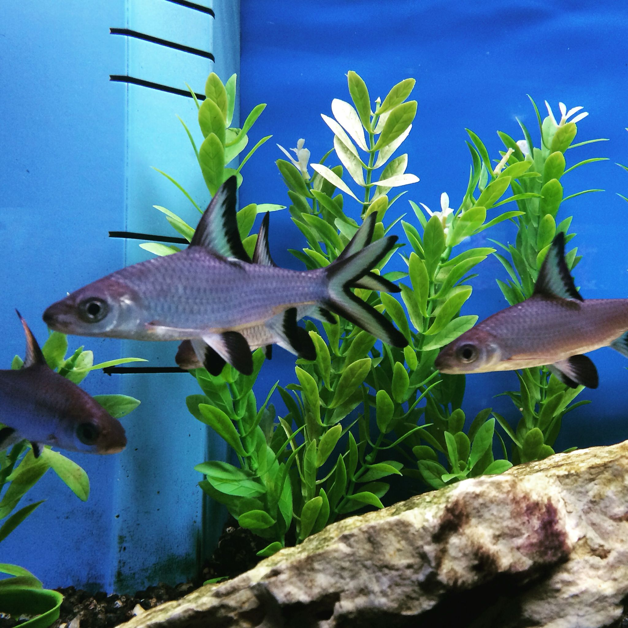 "Sights in Aquarium Adventure; I've always thought Bala sharks are just striking. These peaceful freshwater fish like to school in groups of three or more. They can be jumpers so make sure to have a lid on their tank; they can also grow up to 14"". #AquariumAdventure #balashark #freshwater"