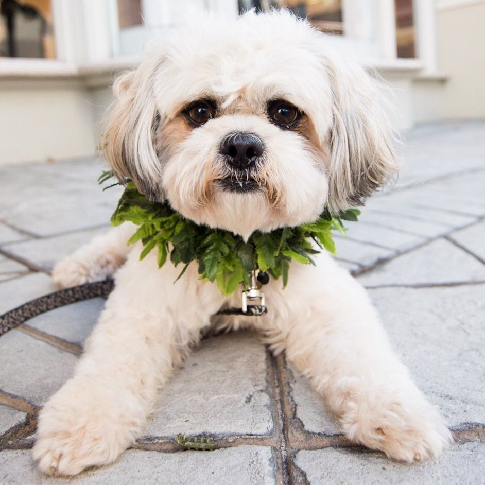 Tuffy Too Shih Tzu Maltese Mix 3 Y O Waikiki Beach Honolulu