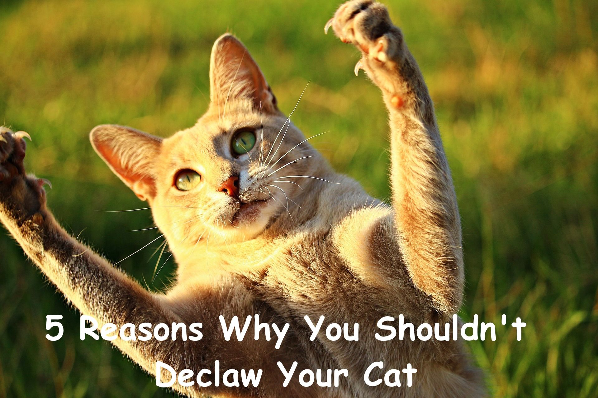 5 Reasons Why You Shouldn T Declaw Your Cat Cat Health Cats Cat Care Cat Club