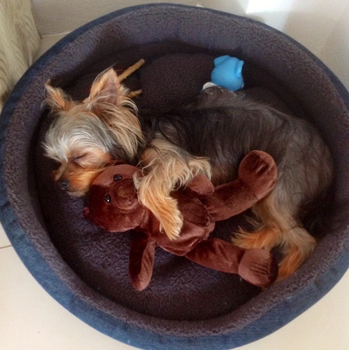 Puppy sleeping with his teddy bear