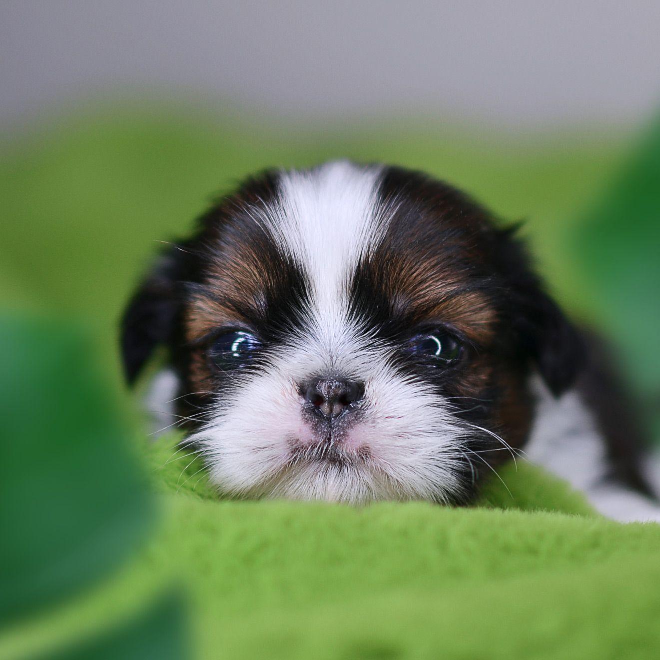 Cutest shih tzu puppy shihtzu shih tzu shih tzu puppy