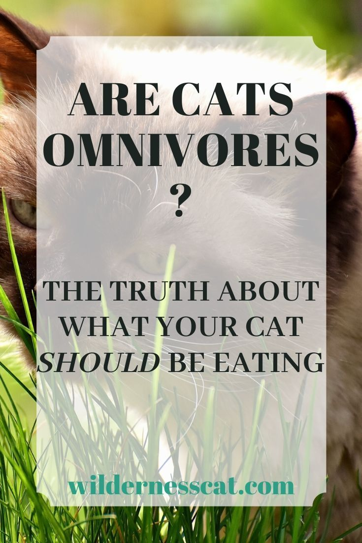 Are Cats Omnivores? in 2020 (With images) Omnivore