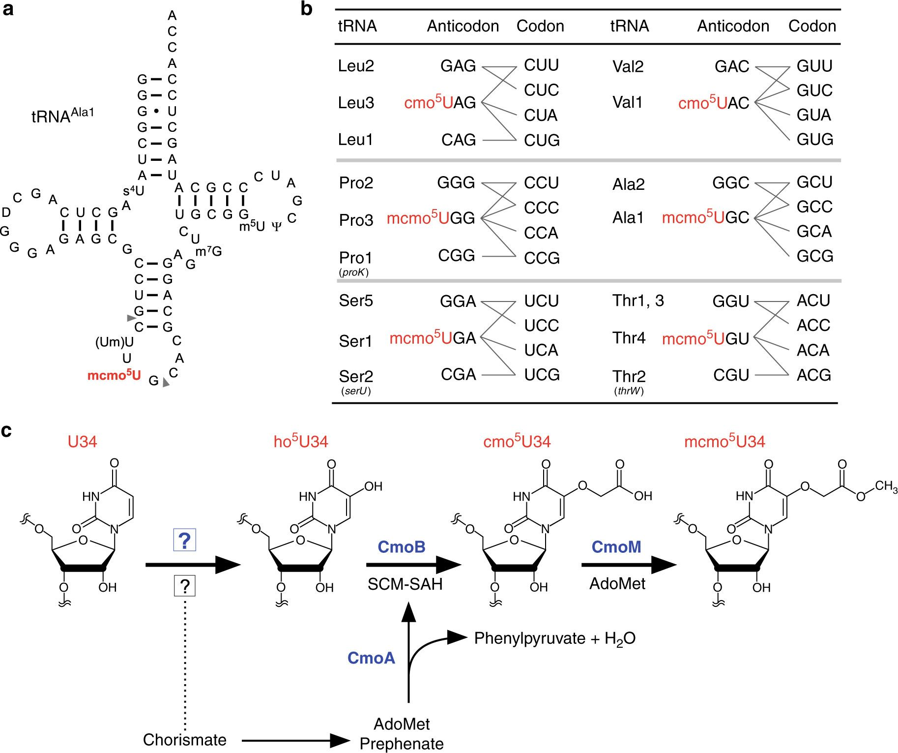 Dual Pathways Of Trna Hydroxylation Ensure Efficient