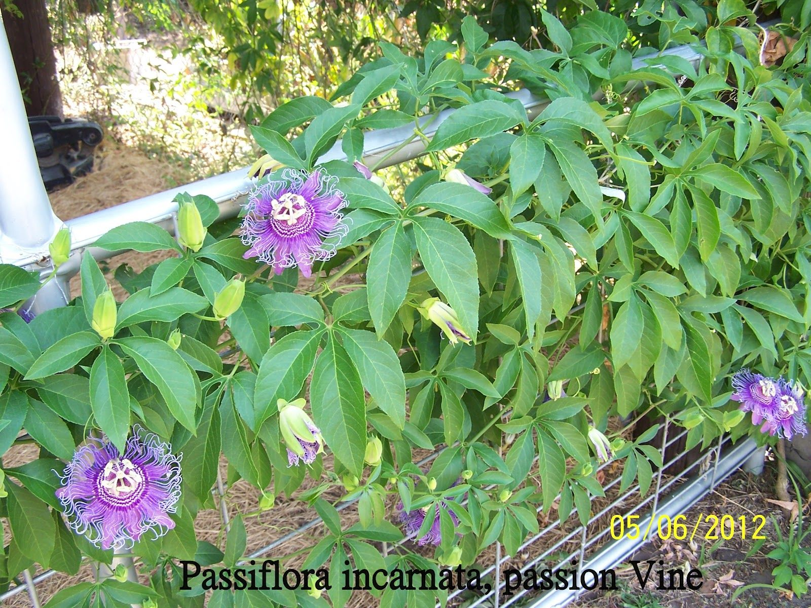 Passion Fruit Vine Deck Trellis Climbing Flowering Vines Flower Trellis Passion Vine