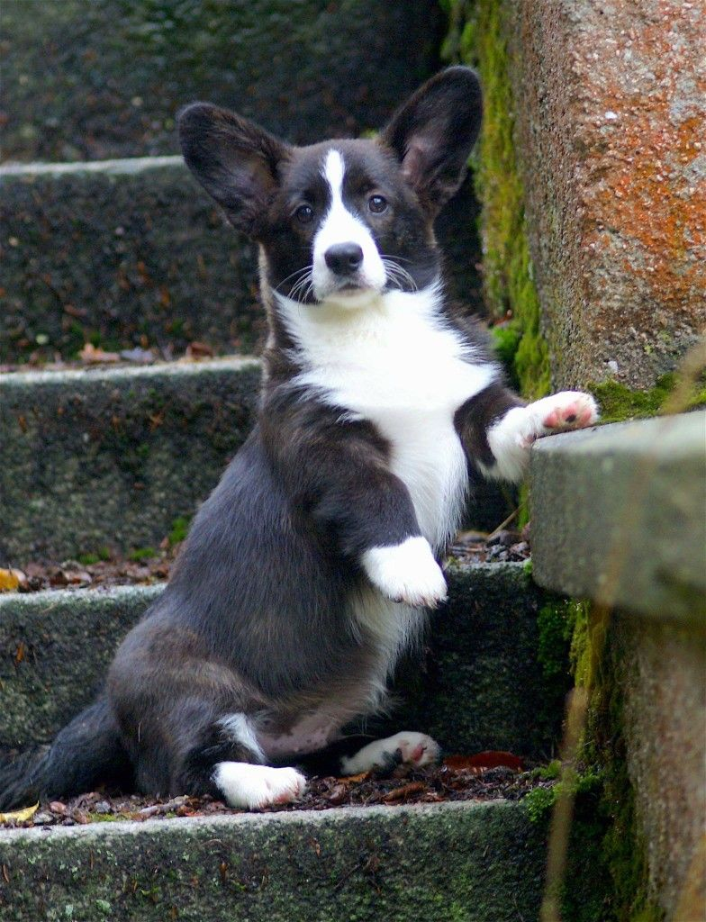 Cardigan Welsh Corgi Corgi Corgi Dog Cute Animals