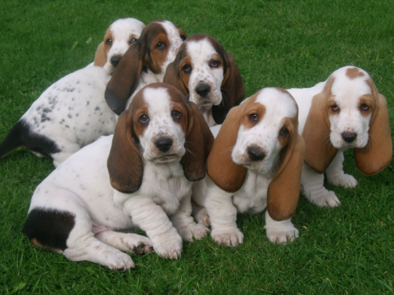 BASSET HOUNDS! Um that's a 6 pack of cute   Beautiful