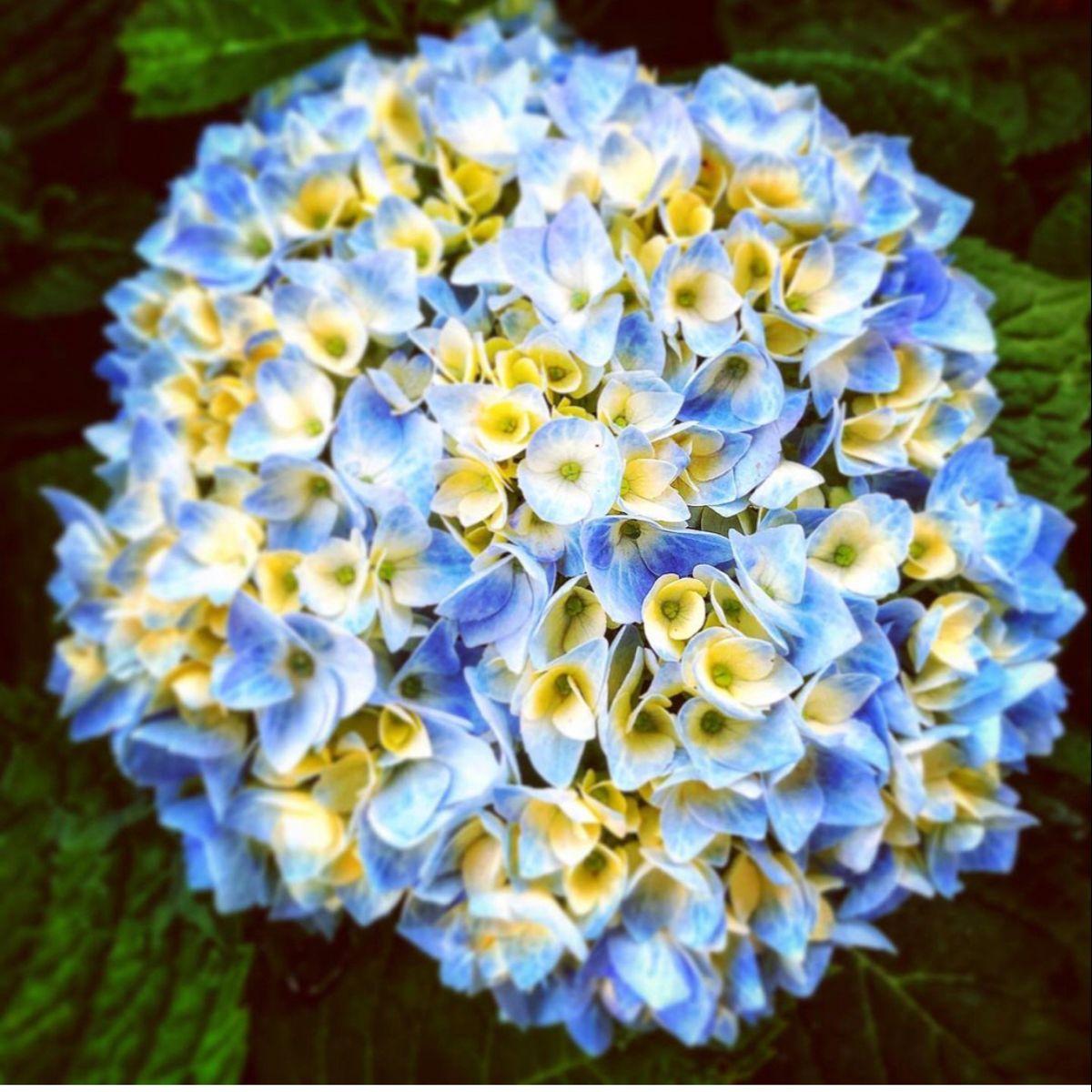 Hydrangeas For Sale In 2020 Hydrangeas For Sale Buy Flowers Online Flowers For Sale