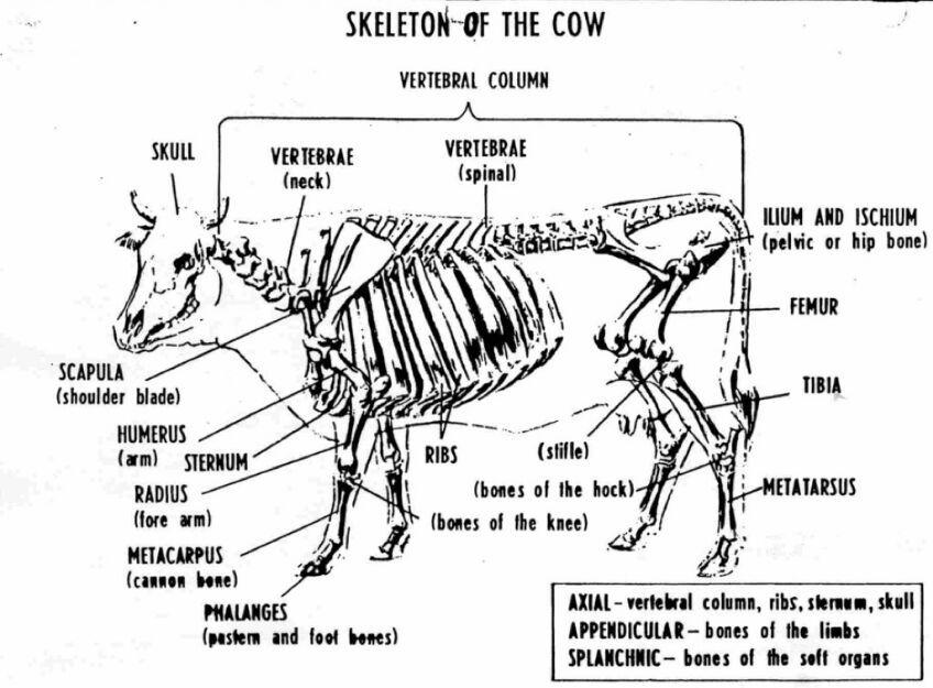 Skeleton of cow anatomy - www.anatomynote.com | Halloween ...