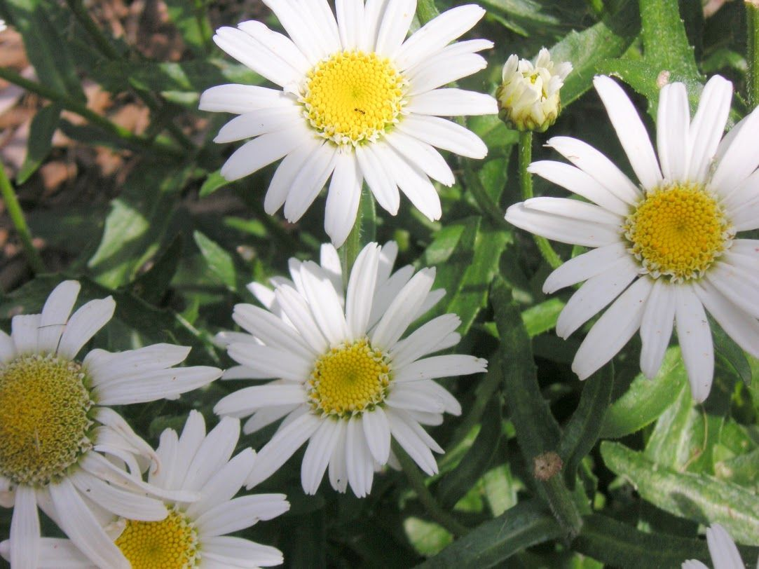 angel daisy shasta daisy leucanthemum u0027angel u0027 proven winners