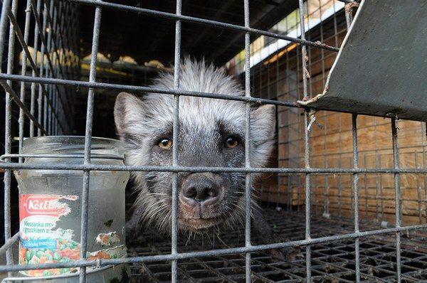 Stowarzyszenie Otwarte Klatki przeprowadziło 14 października 2014 roku interwencję na fermie lisów w Karskach koło Ostrowa Wielkopolskiego. Zdjęcia i filmy, które były powodem tej interwencji wskazywały, że na fermie dochodzi do znęcania się nad zwierzętami: widać na nich chore i pogryzione zwierzęta, bez żadnych śladów opieki weterynaryjnej, lisy w szokująco małych klatkach, odchody zalegające na całej fermie.