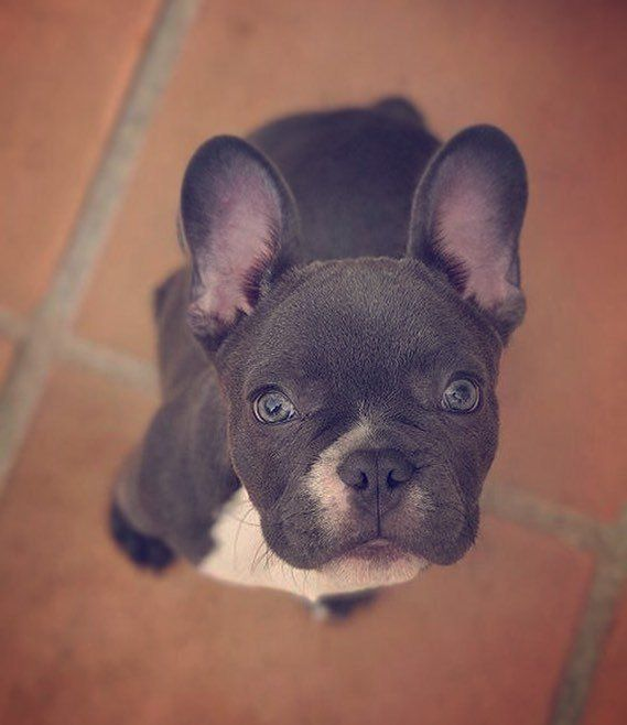 Mookie (MookiePet) on Twitter Pets, French bulldog, Dogs