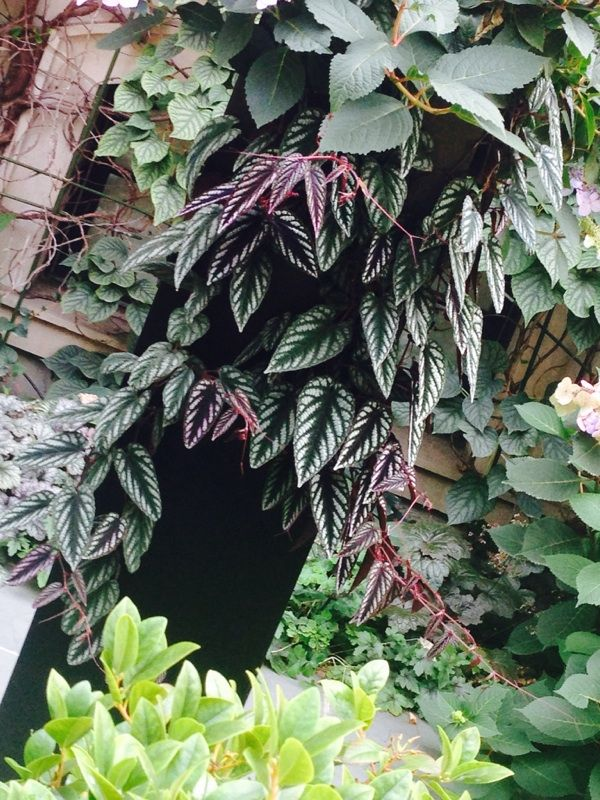 Free Plant Identification Evergreen Vines Plants Begonia