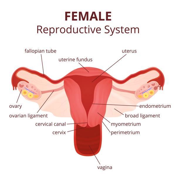 Labeled Diagram Of The Female Reproductive System And Its Functioning Reproductive System Female Reproductive System Anatomy Reproductive System Organs