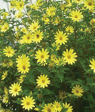 Ideas For Fall Blooming Perennials Helianthus Lemon Queen 8 Feet
