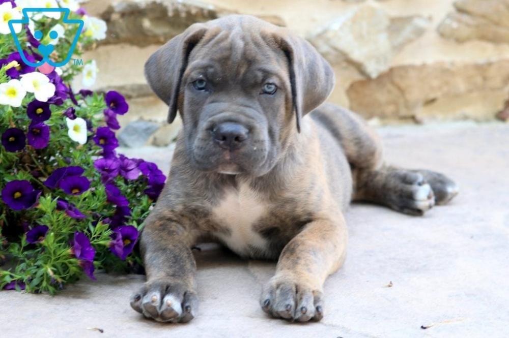 Rocky Cane Corso Puppy For Sale Keystone Puppies Cane Corso Puppies Puppies Cane Corso
