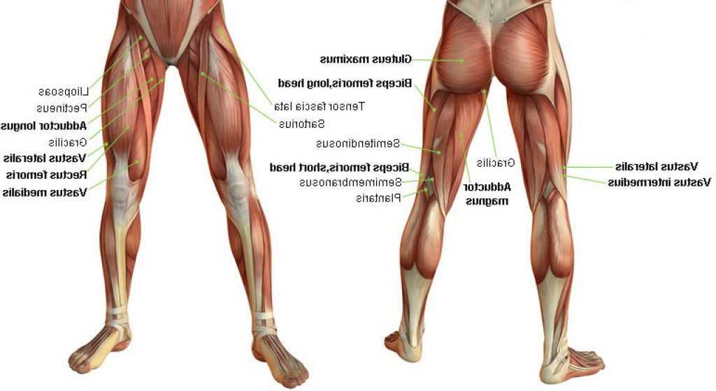 Leg Muscles | antomy | Pinterest | Calf muscle anatomy, Muscle ...