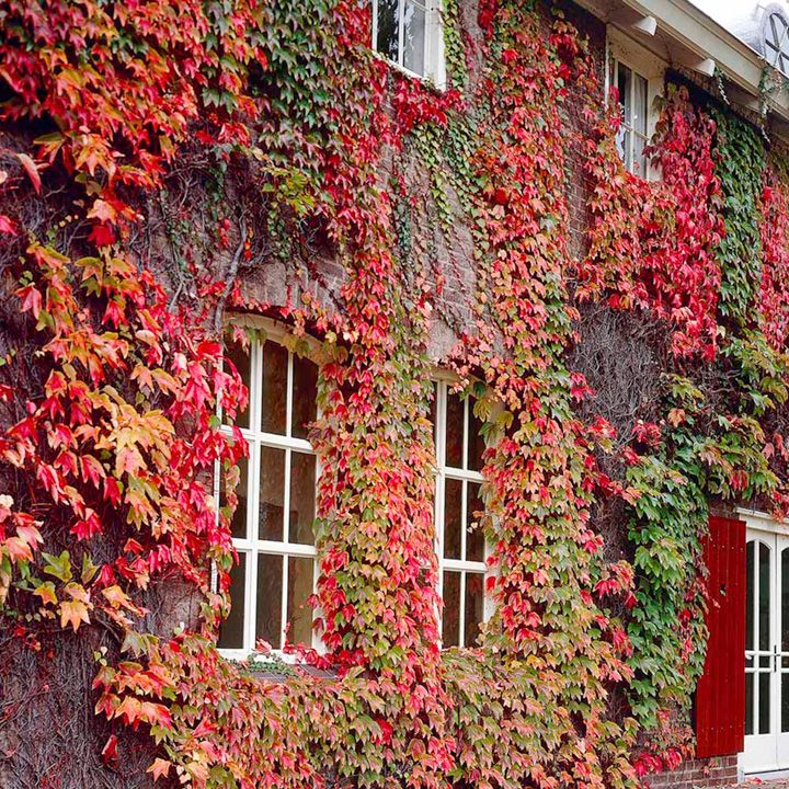 boston ivy Boston Ivy (Parthenocissus tricuspidata