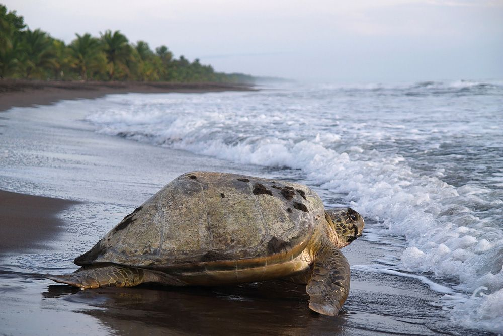 Sea Turtle On Tortuguero Beach Costa