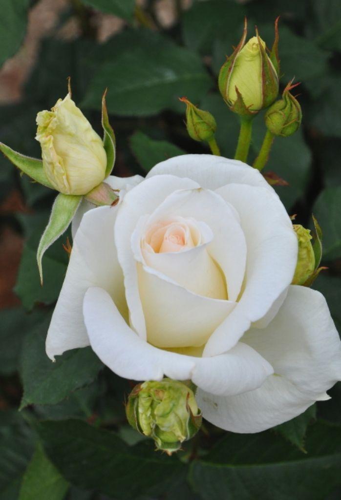 'Thanks-Kansha'   Hybrid Tea Rose. Production in 2009 Japan Keisei Rose gardening