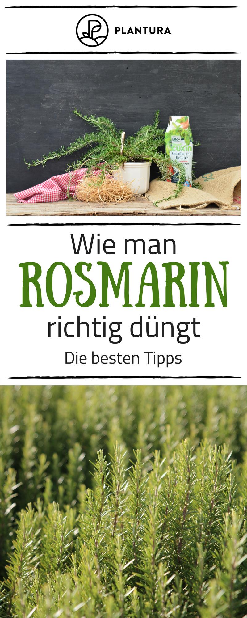Rosmarin schneiden wann und wie zur ckschneiden tipps for Wann kartoffeln pflanzen