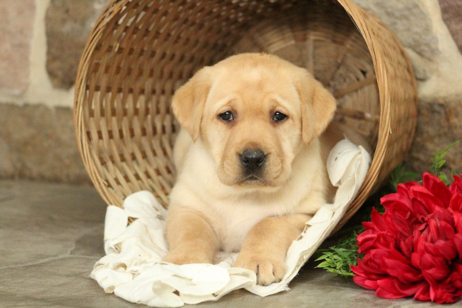 If You Are Looking For A Familypet There Is No Doubt Bethany The Labradorretriever Would Be The Perfe Labrador Retriever Labrador Labrador Retriever Puppies