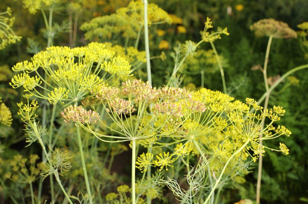 Which Of These Dill Plant Varieties Is Right For You 400 x 300