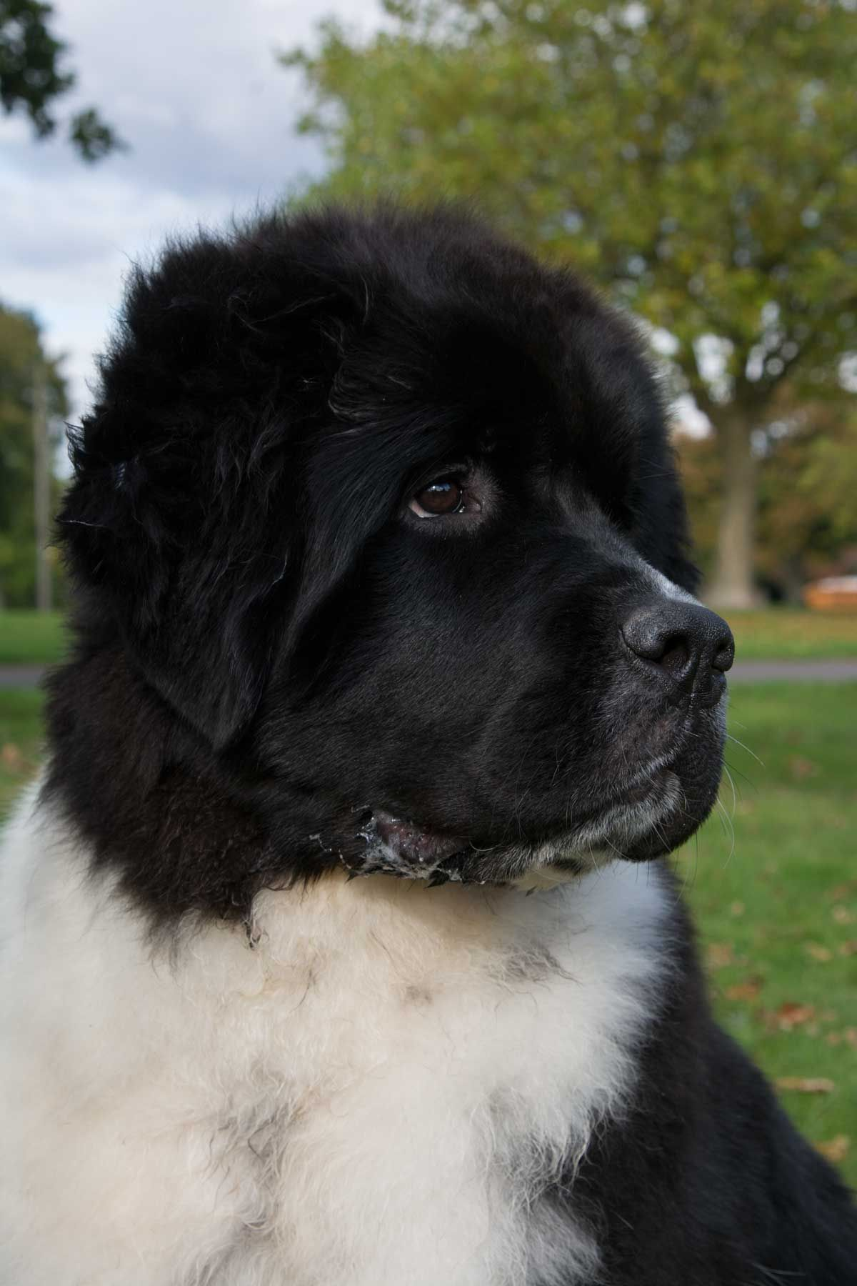 Deep Love Life Goes On For Stelamah Cute Puppies And Kittens Newfoundland Dog Very Big Dog