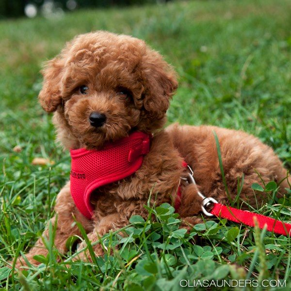 cookie the toy poodle