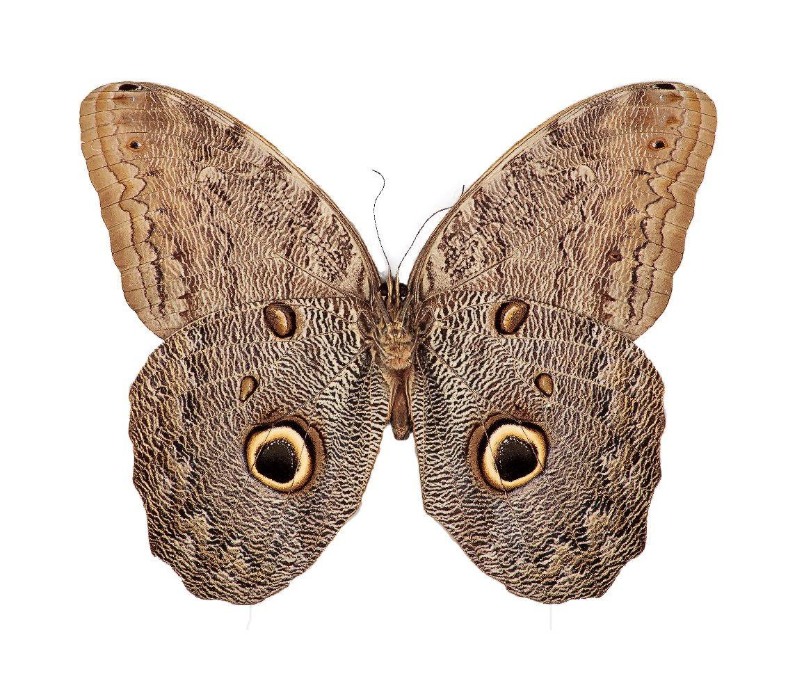 BicBugs Caligo eurilochus owl butterfly verso Peru