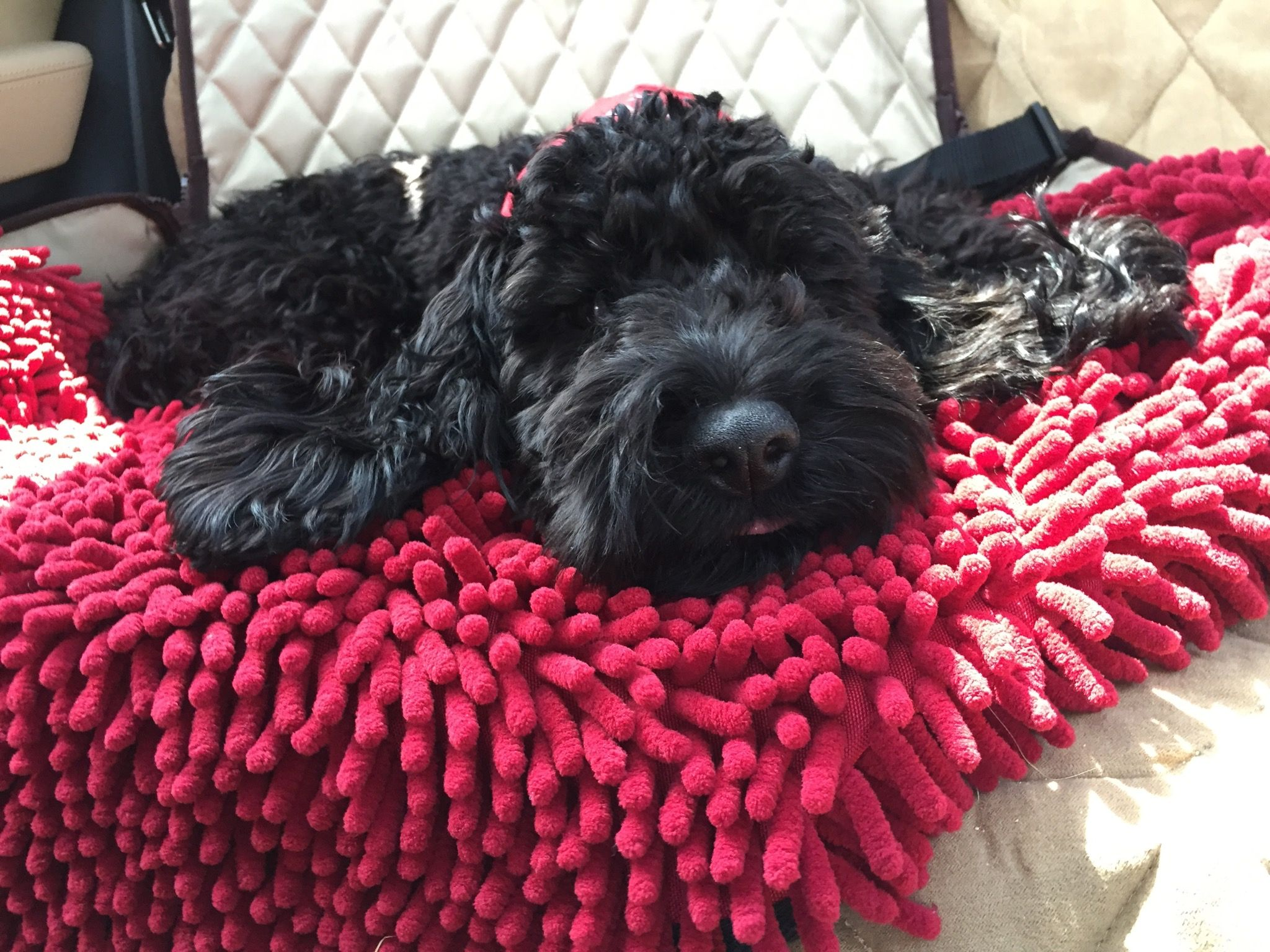 Pin By Sarah Huggins On Black Cockapoos Mans Best Friend Cockapoo Puppies