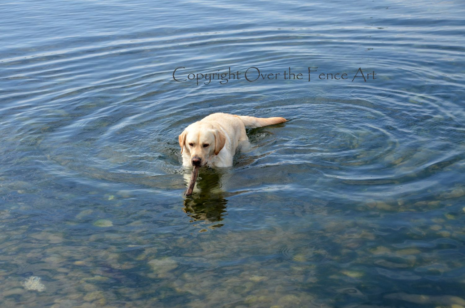 Dog Photo Card Labrador Swims with  Stick Dog Photography by overthefenceart on Etsy