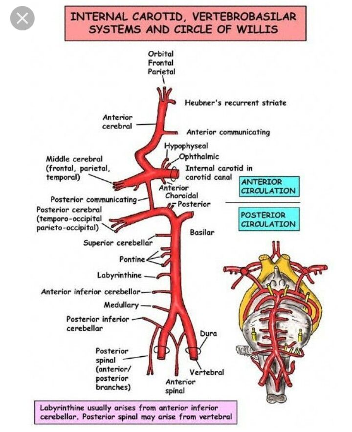 Circle of Willis | Medicina | Pinterest | Radiología, Esquemas y ...