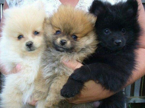 Island Puppies Pomeranian Puppy Cute Pomeranian Puppies