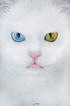 """The Van cat(Turkish:Van kedisi, """"cat of Van"""") is a distinctive landrace of domestic cat found mainly in the Lake Van region of eastern Turkey."""