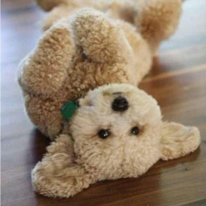 Looks like a cuddly teddy bear! LATESTPETS on Instagram