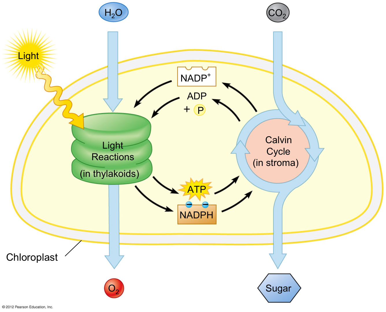 Light Reactions The Initial Reactions In Photosynthesis Begins With The Absorption Of Light By