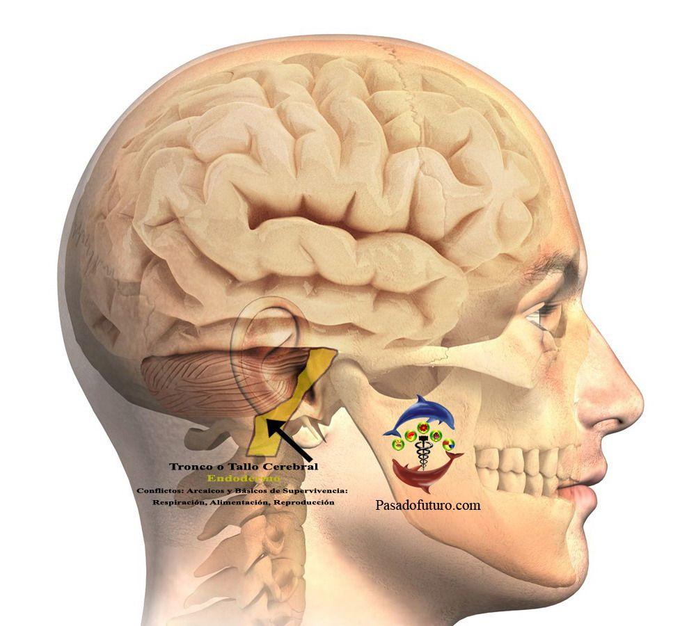 Cerebro Humano Nueva Medicina Germanica Hamer NMG Tronco Tallo ...