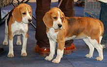 Beagle Wikipedia The Free Encyclopedia Dog Breeds Beagle