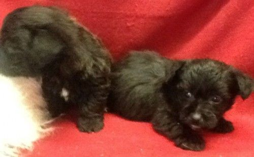 Cute And Cuddly Cairnoodle Puppies Pets For Sale Uk Pet