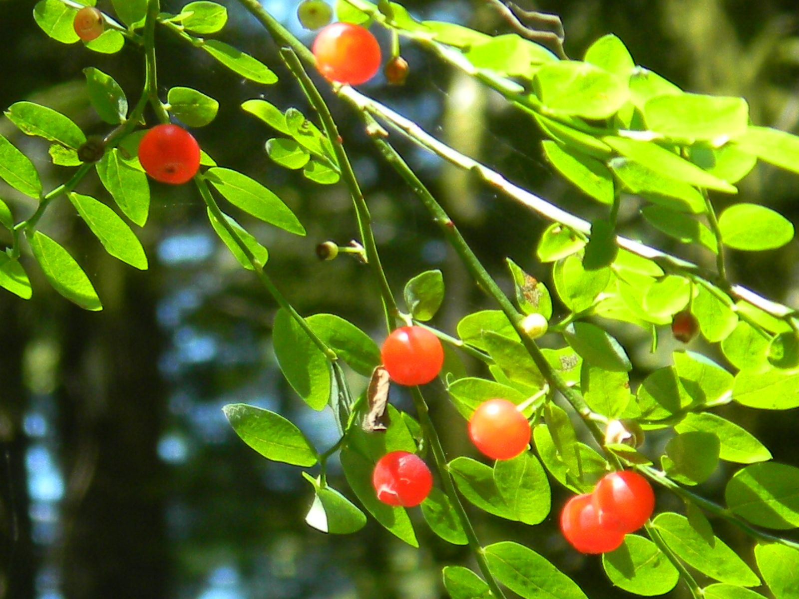 Native Plants To Oregon Part - 46: Red Huckleberries - Mt. Hood, Oregon. Native PlantsHuckleberryRecipiesOregon BerriesHoodsMedicineChildhoodCowls